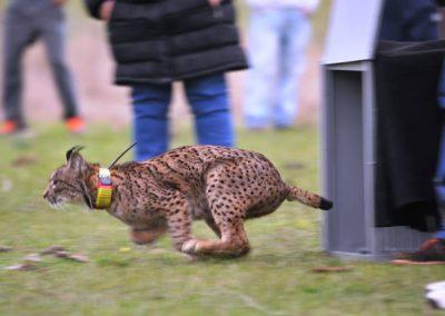 Lynx pardinus 2