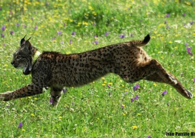 Lynx pardinus 3