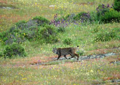 Lynx pardinus 4