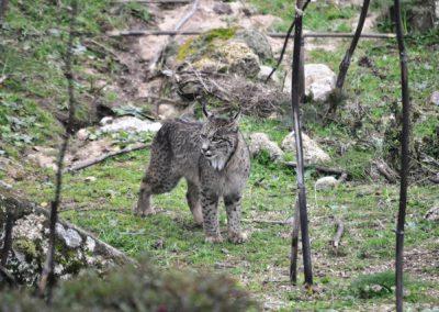 Lynx pardinus 5