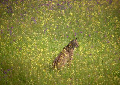Lynx pardinus 6